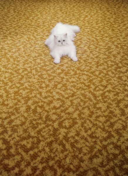 A white Chinchilla Persian cat on a Kosset carpet. We've been expecting you... Photographed by John Gay. Date range: 1955-1975