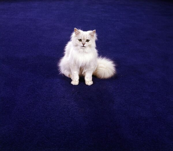 A white Chinchilla Persian cat on a blue-coloured Kosset carpet. Photographed by John Gay. Date range: 1955-1975