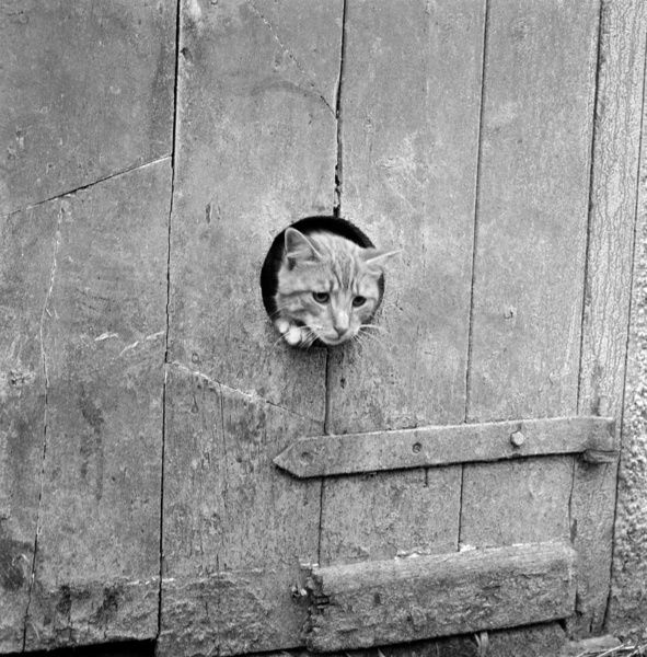 A cat peering out from a circular hole cut into the wooden plank door of a barn or similar agricultural outbuilding. Photographed by John Gay in Cornwall, 1950s