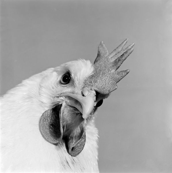 Close up view of a hen's head. Photograph by John Gay; date range 1964-1974