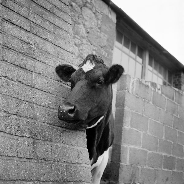 A cow peers around the corner of a brick buttress at an unidentified farm on the Isle of Wight. Photographed by John Gay in the 1960s