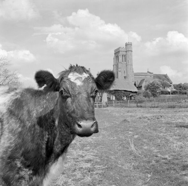 CHURCH AND COW, East Sussex. A cow looks towards the camera; in the background is a church and thatched cottages. Photographed in the Lewes district of East Sussex in 1959 by John Gay
