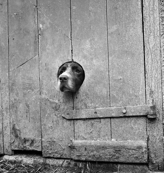A springer spaniel peering out from a small circular hole cut into the wooden plank door of a barn or similar agricultural outbuilding. Photographed on a farm in an unidentified area of Cornwall by John Gay. Date range 1950-1958