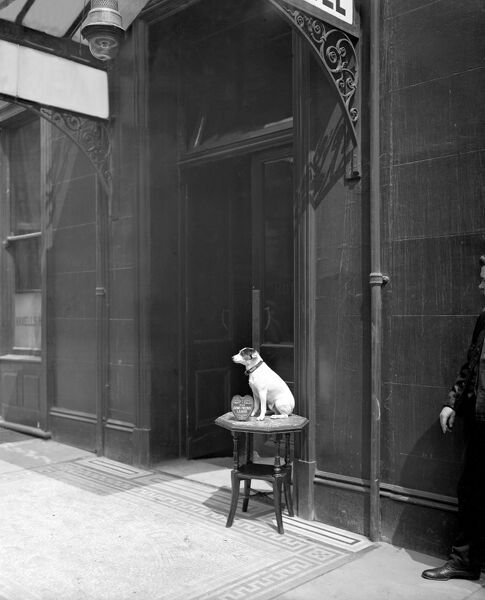 Dog collecting money, Westminster, London. A dog sits on a table collecting funds outside Haxell's Hotel in The Strand, 1909. Bedford Lemere