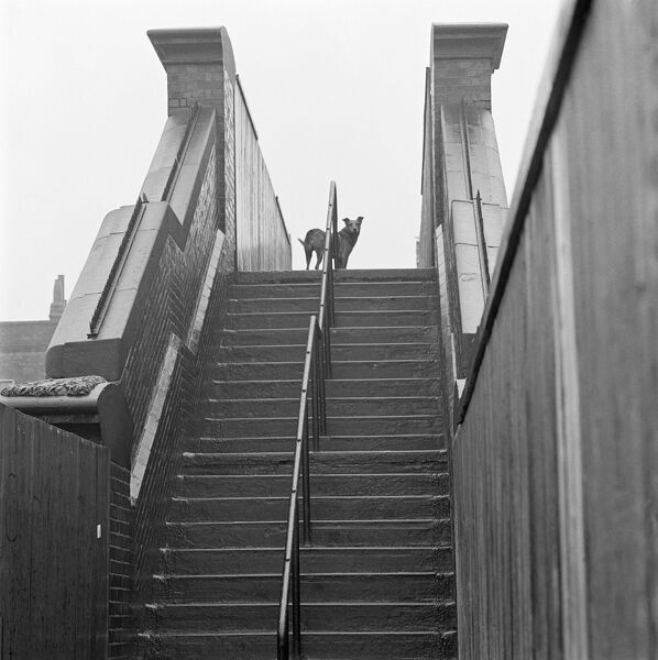 TUFNELL PARK, Camden Town, Greater London. Looking up the steps of a railway footbridge which crosses the line to Churchill Road, to a dog standing at the top of the steps. Date range: Jan 1962 - May 1964. John Gay