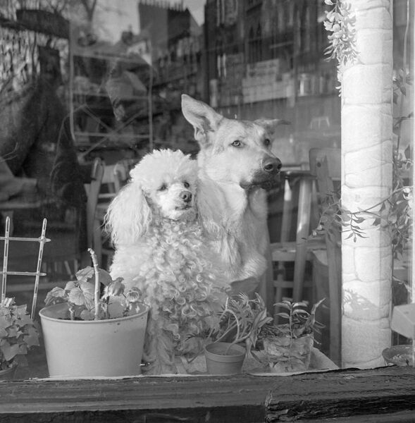 A white poodle and a German Shepherd dog sitting looking out of the window of a cafe. The location is unidentified, possibly the Harrow or Kenton area. John Gay. Date range: Jan 1962 - May 1964