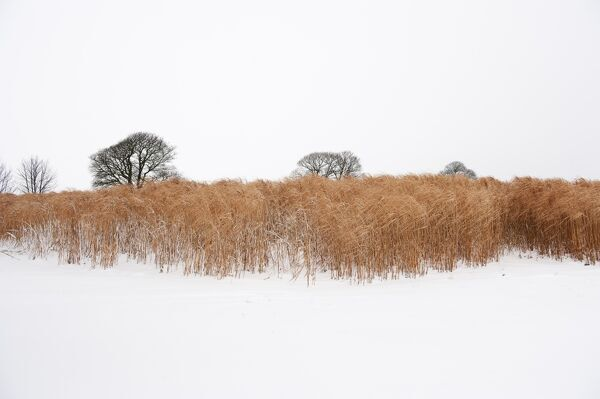Snowfall covers a biocrop in Somerset. Elephant grass is used for biofuel and thatching