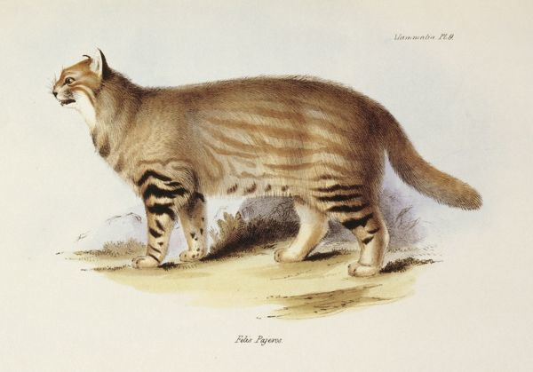 "DOWN HOUSE, Kent. Coloured engraving of a Pampas Cat ""Felis Pajeros"" from ""The Zoology of the Voyage of HMS Beagle, Part II Mammalia"". Plate IX. Edited by Charles Darwin"