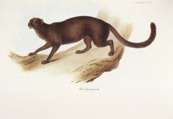 "DOWN HOUSE, Kent. Coloured engraving of a cat ""Felis Yagouarondi"" from ""The Zoology of the Voyage of HMS Beagle, Part II Mammalia"". Plate VIII. Edited by Charles Darwin"