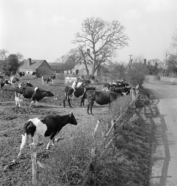 A view of a field and lane in a rural area, possibly near Bridgnorth, Shropshire. A herd of Friesian cows approaches the fence near the roadside, with farm and domestic buildings in the background. Photographed by John Gay in 1953