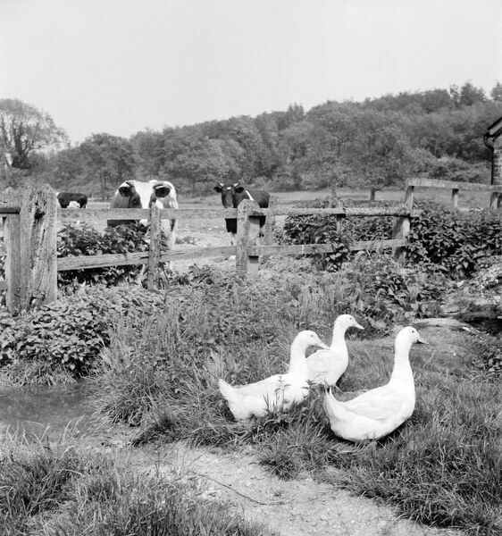 A farmyard view of three white geese watched by some cattle from behind a wooden fence, with woodland in the background. Photographed in the Chichester area, West Sussex. John Gay. Date range: 1950 - 1965