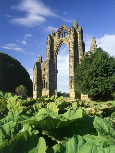 GISBOROUGH PRIORY, Guisborough, Redcar and Cleveland. View across the Gunnera foliage looking towards the 14th century church's east end