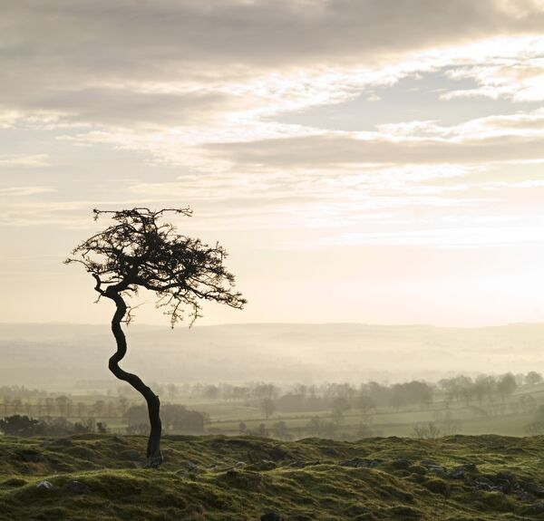 HADRIAN'S WALL, Northumberland. View of an isolated tree along the line of the vallum, at sunset. hadrian