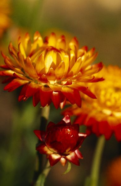AUDLEY END HOUSE AND GARDENS, Essex. The Kitchen Garden. Detail of Helichrysum Monstrosum