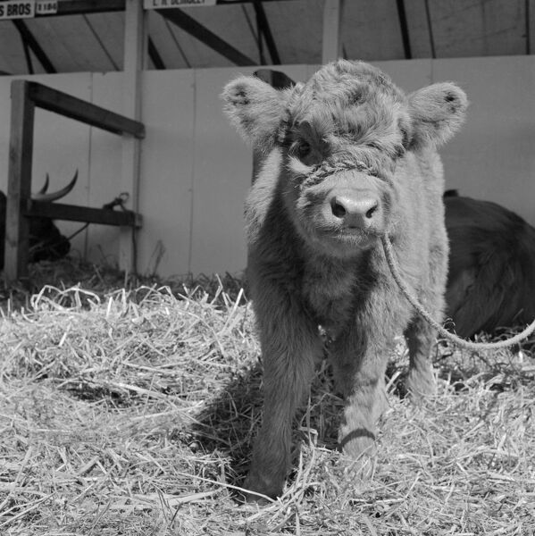 View of a young Highland cow, tethered and facing the camera at the Royal Show, Oxford. Photographed by John Gay, July 1959