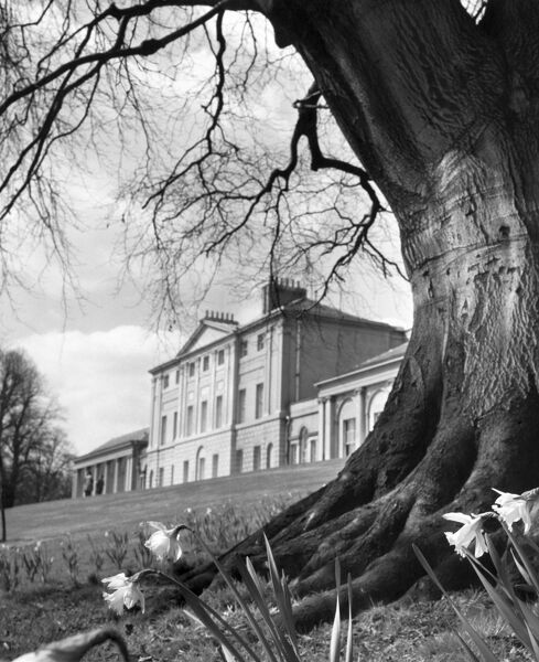 KENWOOD HOUSE, Hampstead, London. Exterior view. Looking across towards the south front of Kenwood House from the grounds, with a large oak and daffodills in the foreground. Photographed by John Gay during 1950s-1960s