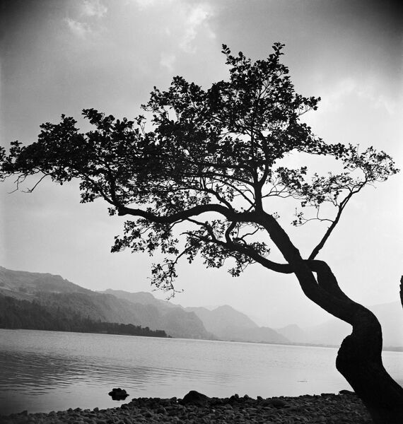 A windswept tree silhouetted against bright sunlight, growing on the rocky shore of a large calm lake in the South Lakeland district of Cumbria, most likely either Lake Windermere or Coniston Water