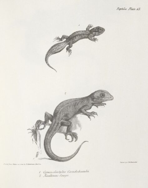 "DOWN HOUSE, Kent. Engraving of lizards including ""Naultinus Grayii"" from ""The Zoology of the Voyage of HMS Beagle, Part V Reptiles"". Plate XIII. Edited by Charles Darwin"