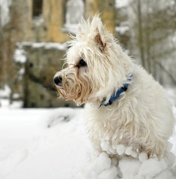 MINSTER LOVELL HALL, Oxfordshire. View of Manor House with dog and snow