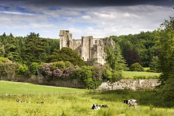 OLD WARDOUR CASTLE, Wiltshire. General view with cows