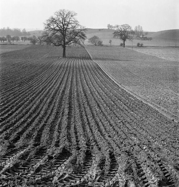 A view along the furrows of a neatly ploughed field near Bridgnorth, Shropshire, with a lone tree in the centre of the field and rolling hills in the distance. Photographed by John Gay in 1953
