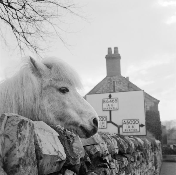 The head of a white pony peers over a dry stone wall, probably near Ashford in the Water, Derbyshire, with a road sign and house in the background. Photographed by John Gay in 1959