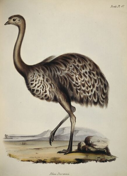 "DOWN HOUSE, Kent. Coloured engraving of an ostrich ""Rhea Darwinii"" from ""The Zoology of the Voyage of HMS Beagle, Part III Birds"". Plate XLVII. Edited by Charles Darwin"