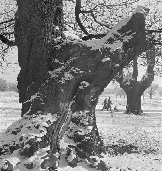 RICHMOND PARK, London. A snow scene with the trunk of a mature oak tree in the foreground and a couple with a pushchair striding out in the distance. An early 1960's photograph by John Gay