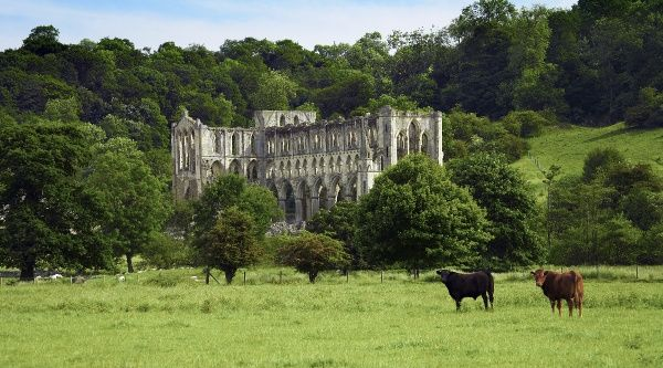 RIEVAULX ABBEY, North Yorkshire. General view of the abbey church with cattle looking to camera