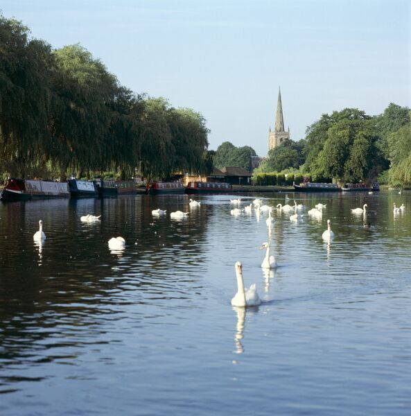RIVER AVON, Stratford upon Avon. View of river with swans & moored narrowboats and Holy Trinity Church visible in the background