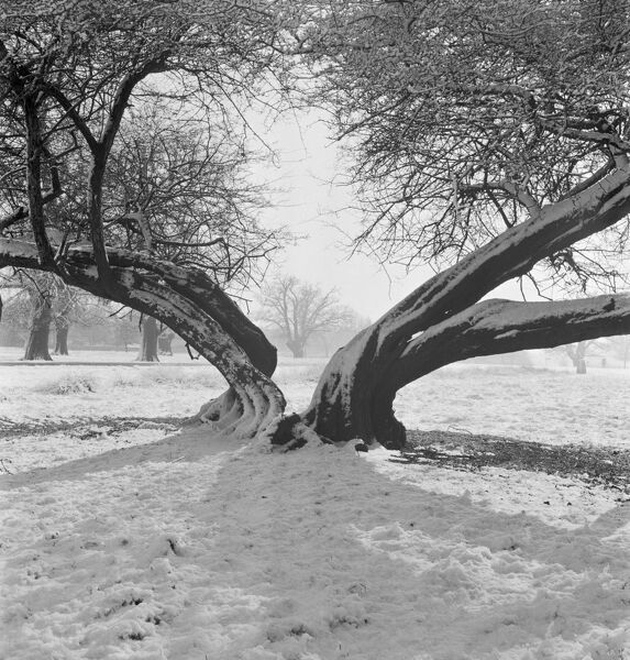RICHMOND PARK, Greater London. A snow scene in Richmond Park with the trunk of a mature tree, split in half down to the ground, in the foreground. Photograph by John Gay. Date range: Jan 1962 - May 1964