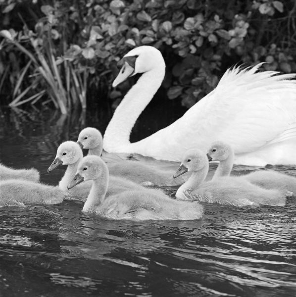 A swan and young cygnets on the water at Kew Gardens. Photographed by John Gay. Date range: January 1962 - May 1964