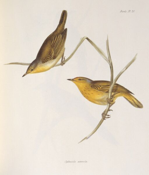 "DOWN HOUSE, Kent. Coloured engraving of two finches ""Sylvicola Aureola"" from ""The Zoology of the Voyage of HMS Beagle, Part III Birds"". Plate XXVIII. Edited by Charles Darwin"
