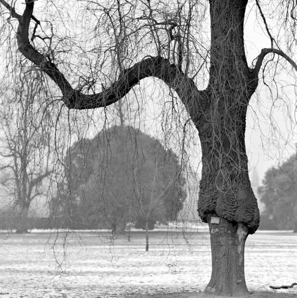 KEW GARDENS, Greater London. A mature weeping tree in winter in Kew Gardens with other trees behind. Photograph by John Gay. Date range: Jan 1962 - May 1964
