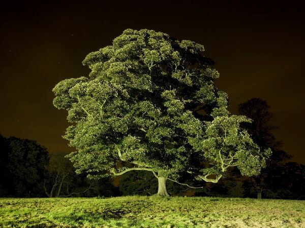 BRODSWORTH HALL, South Yorkshire. A tree in a field near the garden entrance illuminated at night
