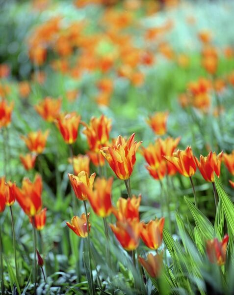 OSBORNE HOUSE, Isle of Wight. Detail of tulip beds - variegated orange and yellow flowers. Spring time