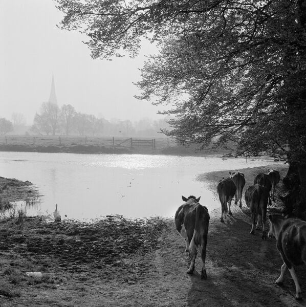 West Harnham, Salisbury, Wiltshire. Cattle in flooded pastures by the river and water meadows at West Harnham. Looking east towards the spire of the Cathedral Church of St Mary in the distance. Photographed by John Gay in 1958
