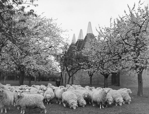 Sheep grazing in a Kent orchard, oast houses in the background