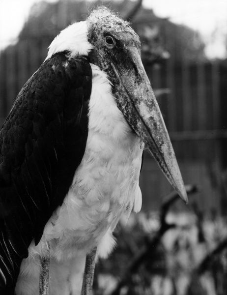 A rather formidable-looking Adjutant Stork! Date: 1960s