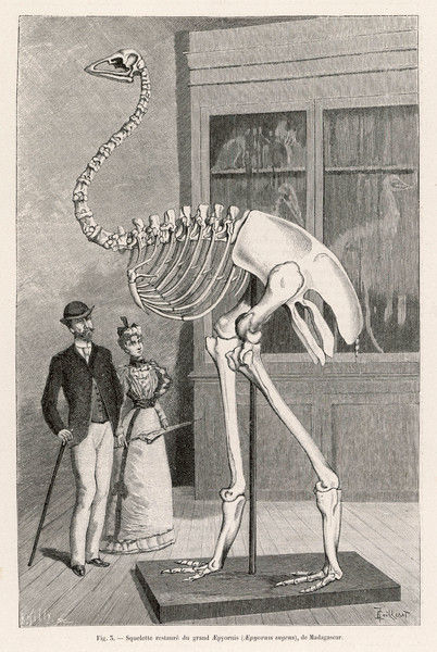 A Victorian couple admire a restored skeleton of aepyornis ingens, a genus of flightless birds native to Madagascar