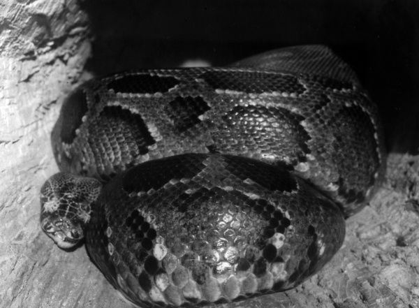 A coiled African Python. Date: 1960s
