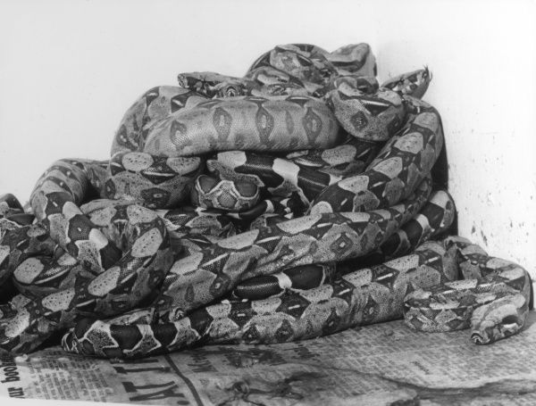 A nest of coiled African Pythons. Date: 1960s