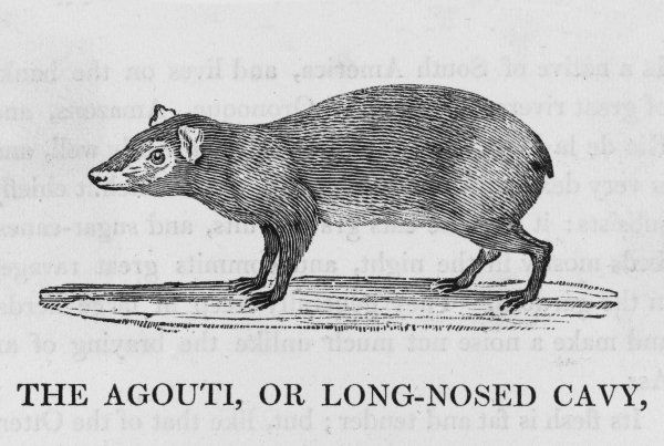 or long-nosed Cavy cavia aguti resident of South America