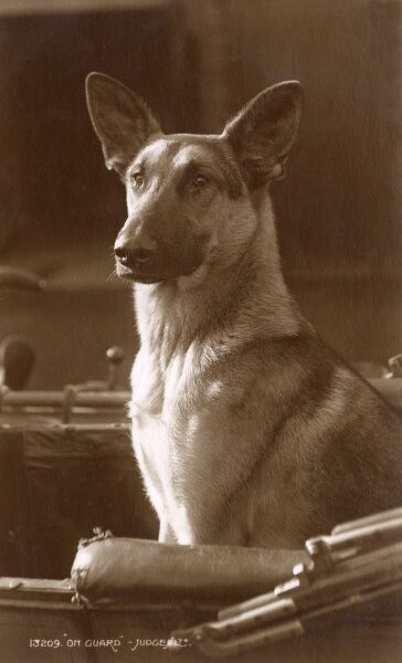 Wonderful photographic postcard of an Alsatian dog 'on guard' in an open carriage Date: 1932