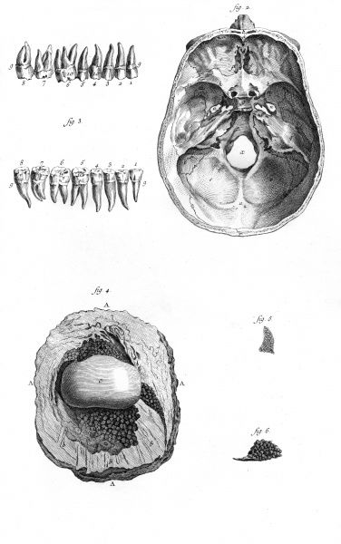a skull, teeth, the interior of a knee (below left) some marrow and a mucous gland from the humerus (below right) Date: Circa 1760