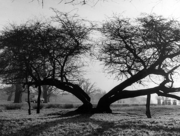 The ancient split hawthorn tree in Richmond Park, Surrey, England. Date: early 1960s