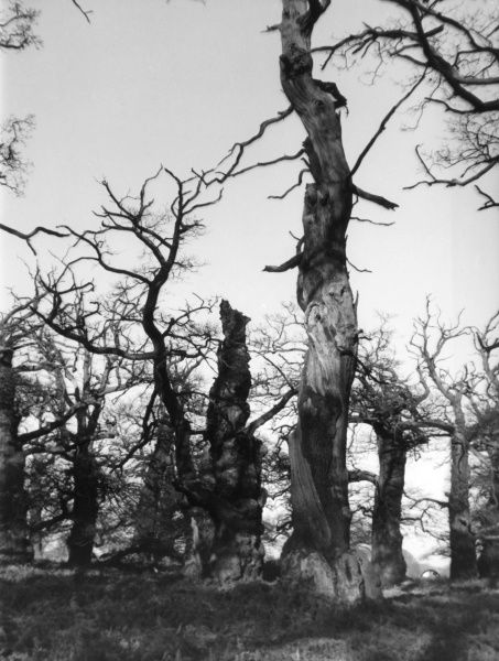 Relics of Sherwood Forest - there are acres of these strange, twisted and mis- shapen old oak trees still growing in Thoresby Park, Dukeries, Notts., England. Date: 1950s