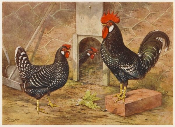 Ancona cock and hen