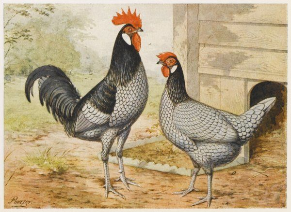 Andalusian cock and hen