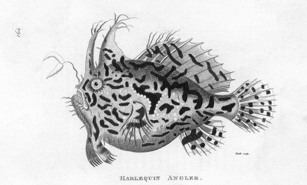 The Harlequin Angler Fish Date: 1804